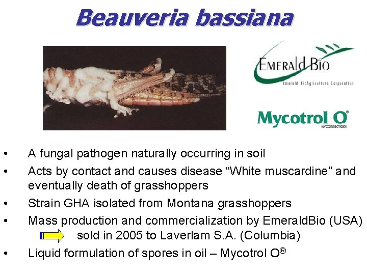 Beauveria bassiana • • • A fungal pathogen naturally occurring in soil Acts by
