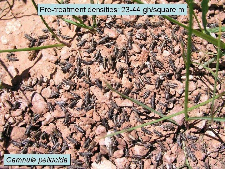 Pre-treatment densities: 23 -44 gh/square m Camnula pellucida