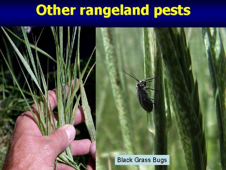 Other rangeland pests Black Grass Bugs