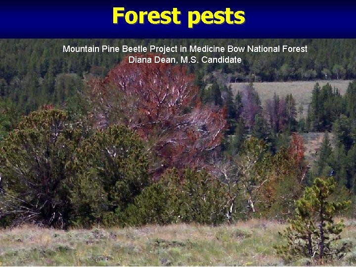 Forest pests Mountain Pine Beetle Project in Medicine Bow National Forest Diana Dean, M.