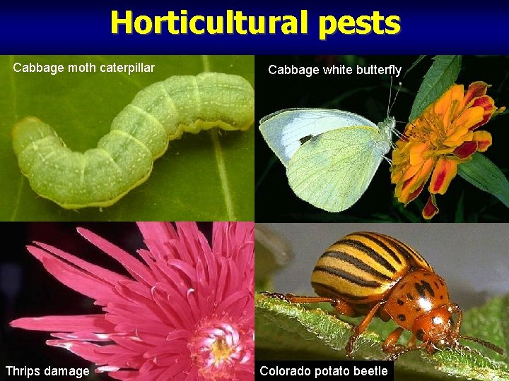 Horticultural pests Cabbage moth caterpillar Thrips damage Cabbage white butterfly Colorado potato beetle