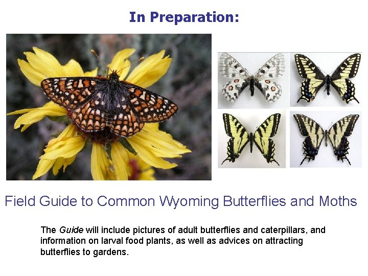 In Preparation: Field Guide to Common Wyoming Butterflies and Moths The Guide will include