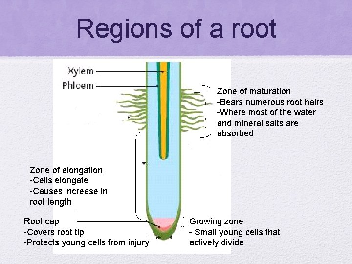 Regions of a root Zone of maturation -Bears numerous root hairs -Where most of
