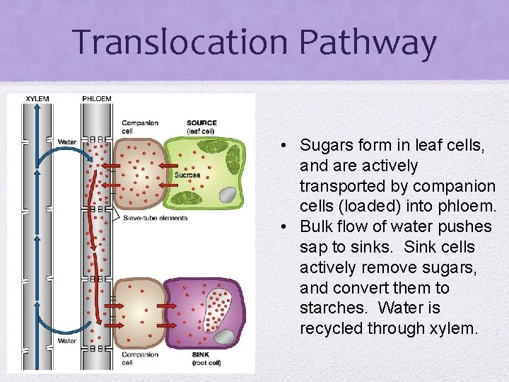 Translocation Pathway • Sugars form in leaf cells, and are actively transported by companion