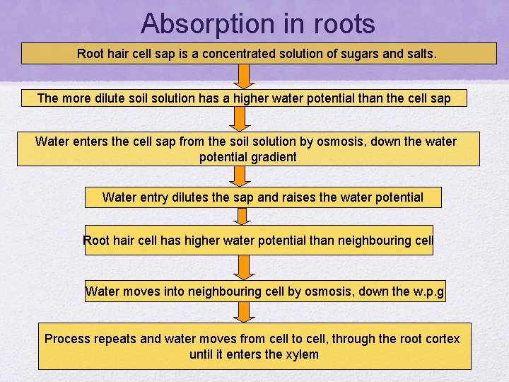 Absorption in roots Root hair cell sap is a concentrated solution of sugars and