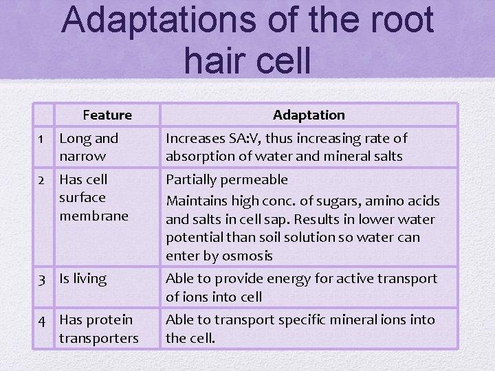 Adaptations of the root hair cell Feature 1 Long and narrow Adaptation Increases SA:
