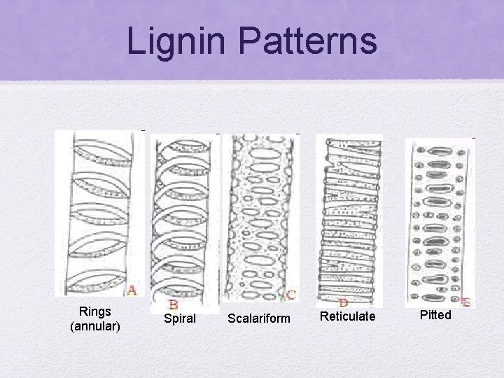 Lignin Patterns Rings (annular) Spiral Scalariform Reticulate Pitted