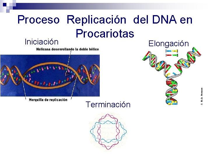 Proceso Replicación del DNA en Procariotas Iniciación Elongación Terminación