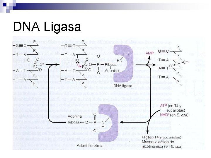 DNA Ligasa