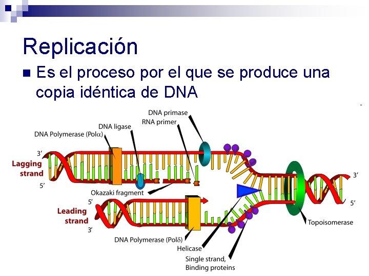 Replicación n Es el proceso por el que se produce una copia idéntica de