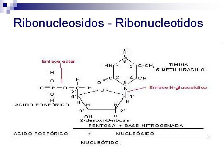 Ribonucleosidos - Ribonucleotidos