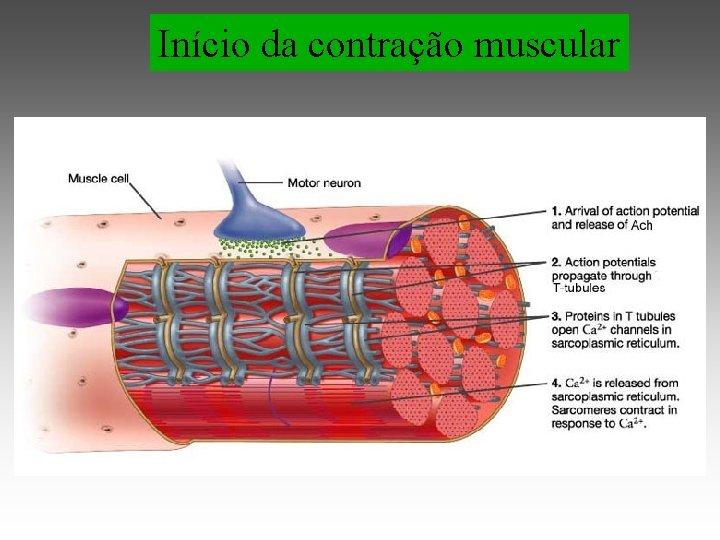 Início da contração muscular