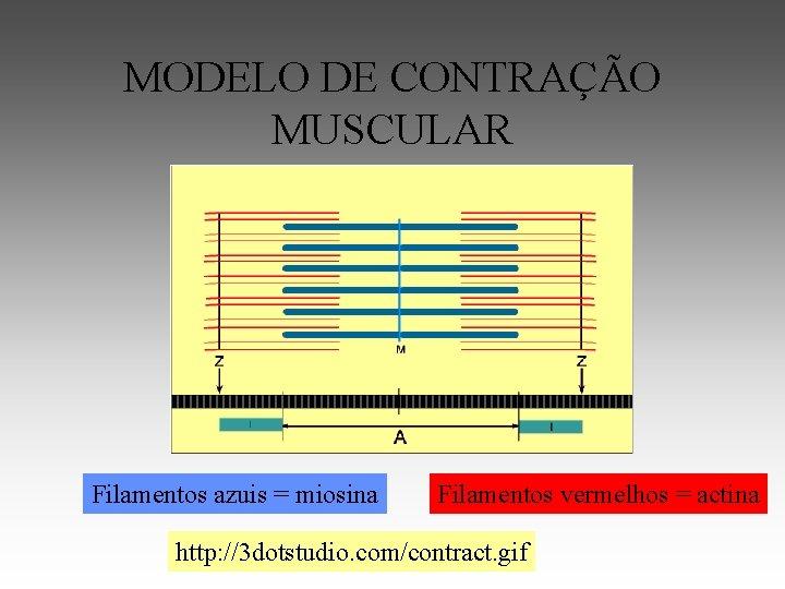 MODELO DE CONTRAÇÃO MUSCULAR Filamentos azuis = miosina Filamentos vermelhos = actina http: //3