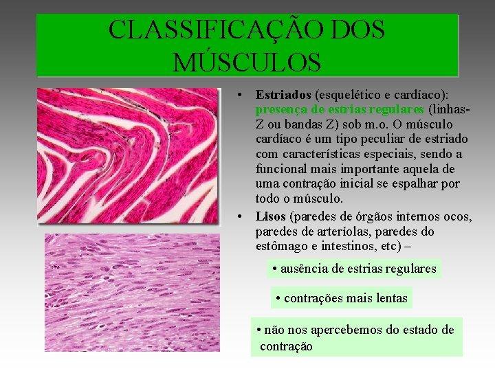 CLASSIFICAÇÃO DOS MÚSCULOS • Estriados (esquelético e cardíaco): presença de estrias regulares (linhas. Z