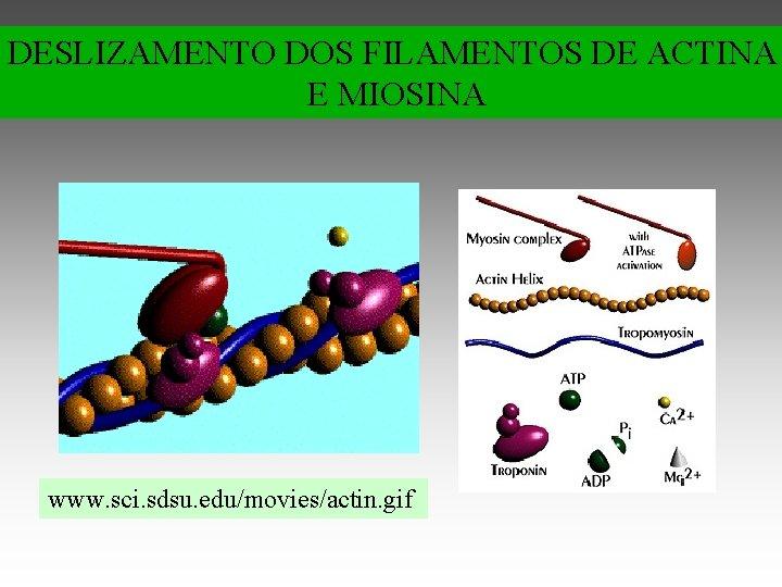 DESLIZAMENTO DOS FILAMENTOS DE ACTINA E MIOSINA www. sci. sdsu. edu/movies/actin. gif