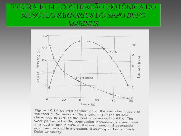 FIGURA 10. 14 - CONTRAÇÃO ISOTÔNICA DO MÚSCULO SARTORIUS DO SAPO BUFO MARINUS