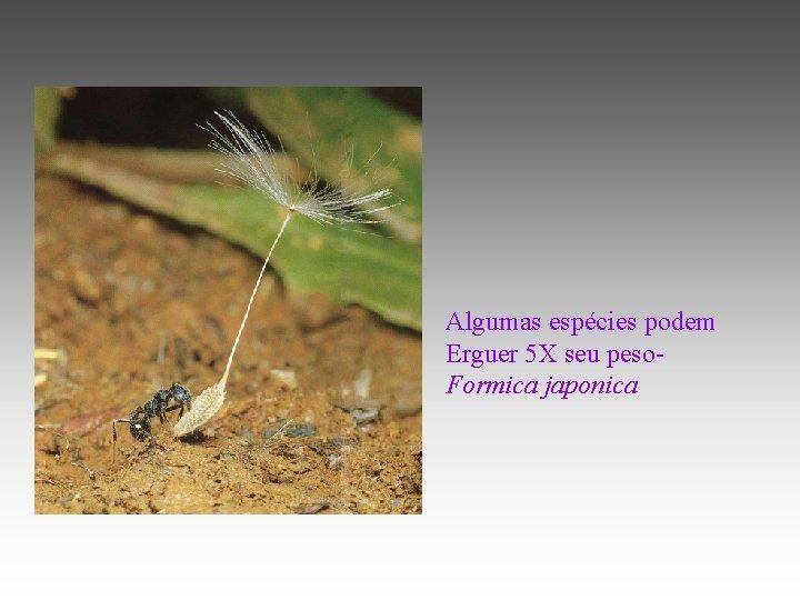 Algumas espécies podem Erguer 5 X seu peso. Formica japonica