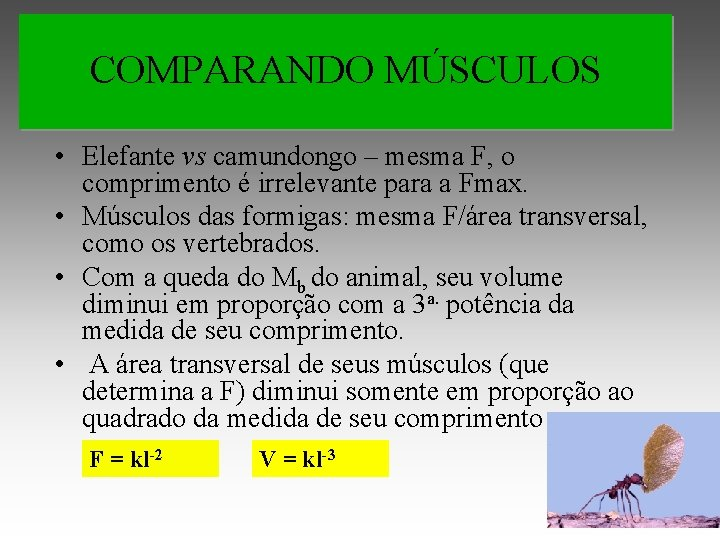 COMPARANDO MÚSCULOS • Elefante vs camundongo – mesma F, o comprimento é irrelevante para