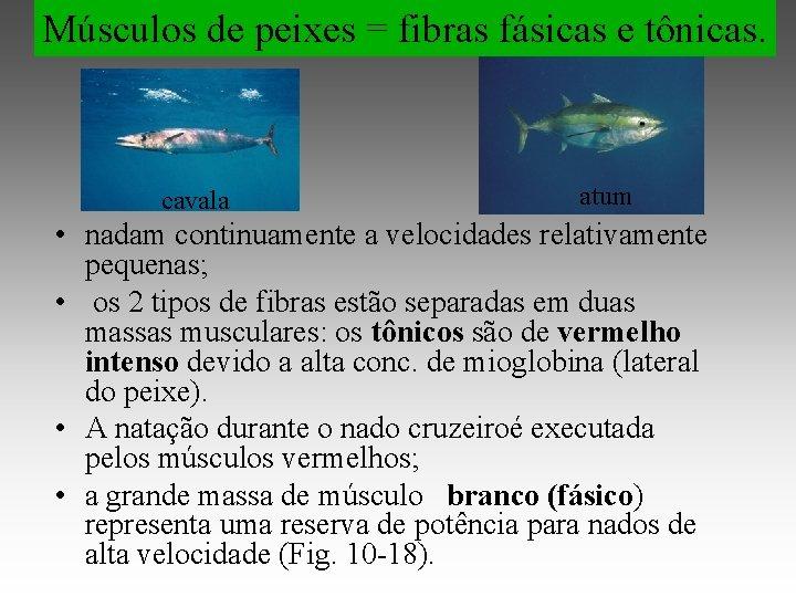 Músculos de peixes = fibras fásicas e tônicas. cavala atum • nadam continuamente a