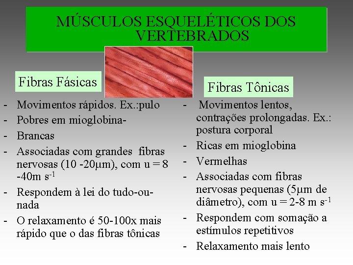 MÚSCULOS ESQUELÉTICOS DOS VERTEBRADOS Fibras Fásicas - Movimentos rápidos. Ex. : pulo Pobres em
