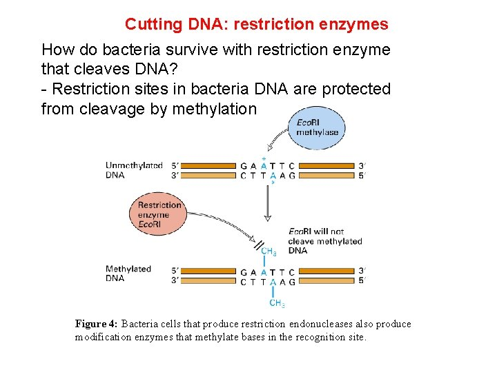 Cutting DNA: restriction enzymes How do bacteria survive with restriction enzyme that cleaves DNA?