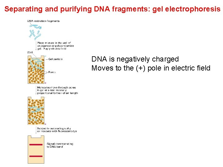 Separating and purifying DNA fragments: gel electrophoresis DNA is negatively charged Moves to the