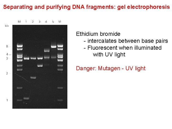 Separating and purifying DNA fragments: gel electrophoresis Ethidium bromide - intercalates between base pairs