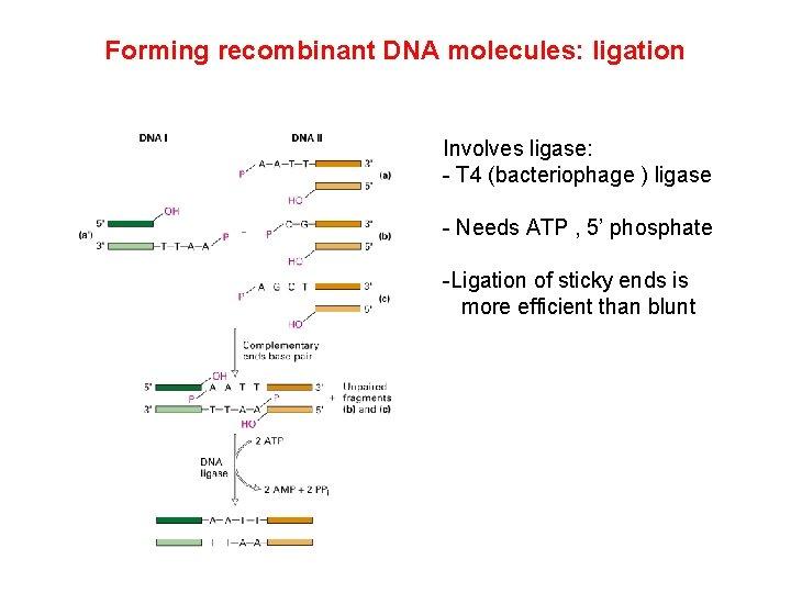 Forming recombinant DNA molecules: ligation Involves ligase: - T 4 (bacteriophage ) ligase -