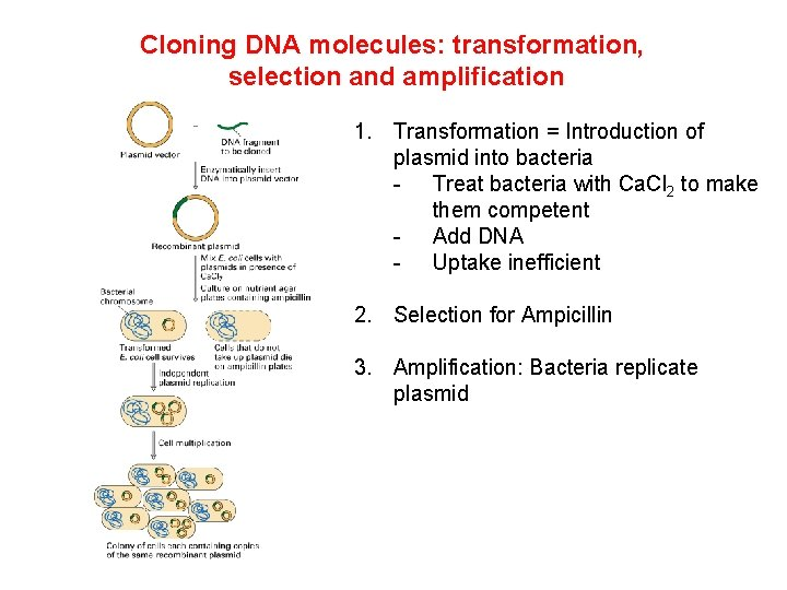 Cloning DNA molecules: transformation, selection and amplification 1. Transformation = Introduction of plasmid into