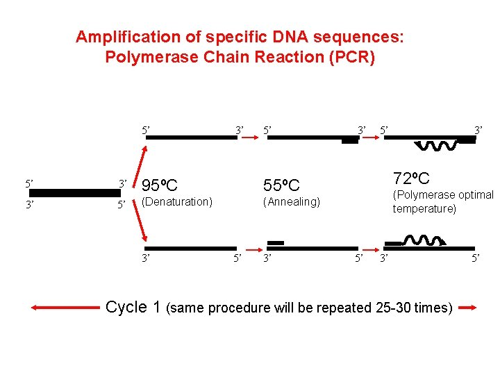 Amplification of specific DNA sequences: Polymerase Chain Reaction (PCR) 5' 3' 5' 5' 3'