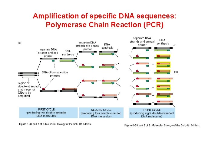 Amplification of specific DNA sequences: Polymerase Chain Reaction (PCR)