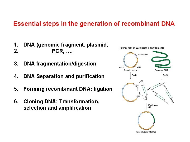 Essential steps in the generation of recombinant DNA 1. DNA (genomic fragment, plasmid, 2.