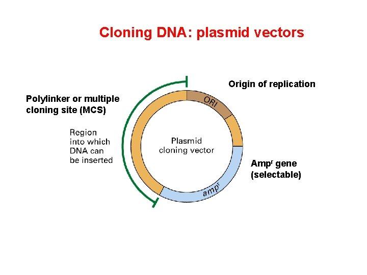 Cloning DNA: plasmid vectors Origin of replication Polylinker or multiple cloning site (MCS) Ampr
