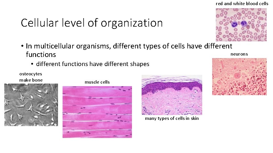 red and white blood cells Cellular level of organization • In multicellular organisms, different