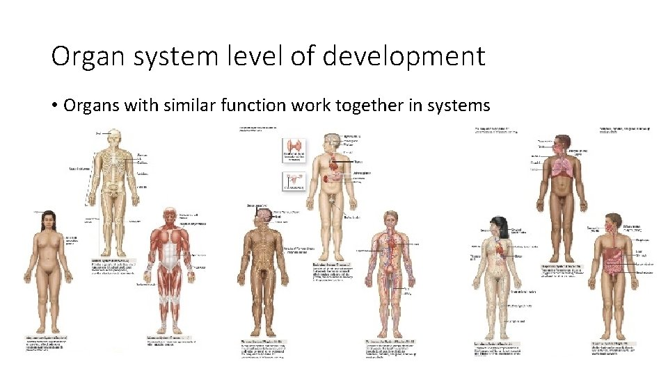 Organ system level of development • Organs with similar function work together in systems