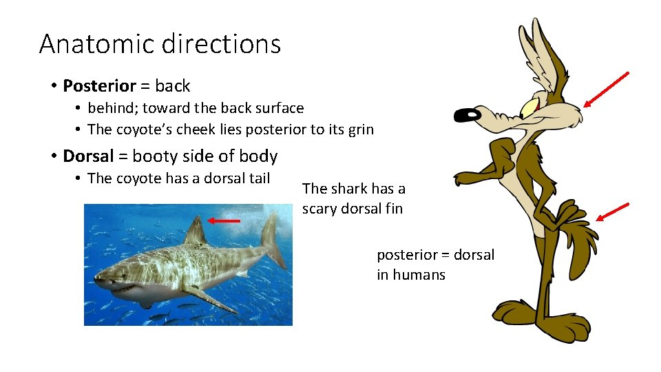 Anatomic directions • Posterior = back • behind; toward the back surface • The