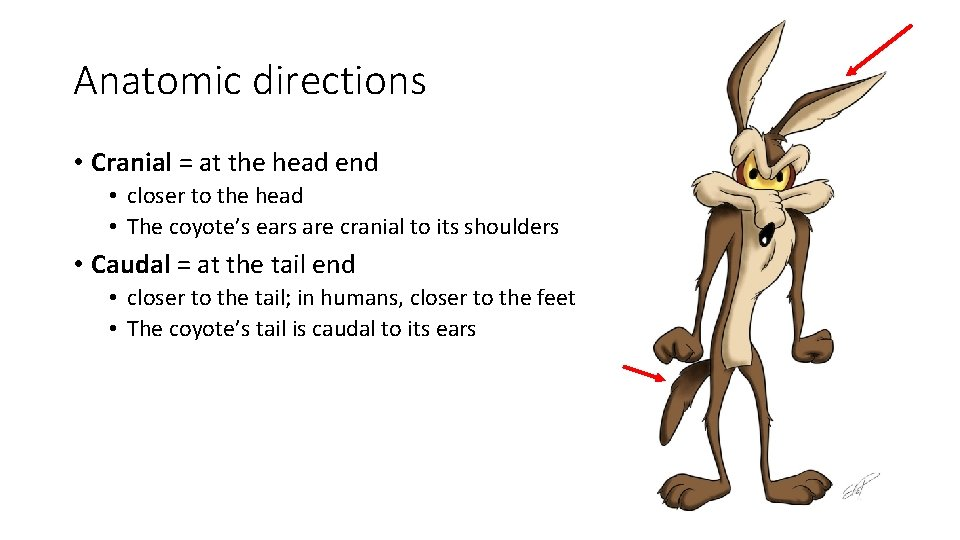 Anatomic directions • Cranial = at the head end • closer to the head