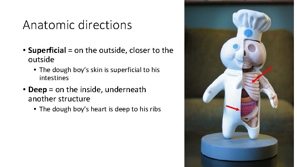 Anatomic directions • Superficial = on the outside, closer to the outside • The