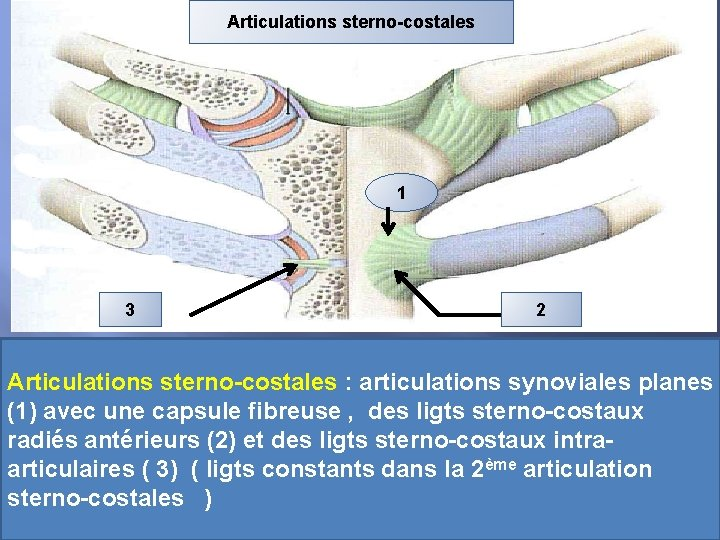 Articulations sterno-costales 1 3 2 Articulations sterno-costales : articulations synoviales planes (1) avec une