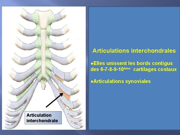 Articulations interchondrales ●Elles unissent les bords contigus des 6 -7 -8 -9 -10ème cartilages