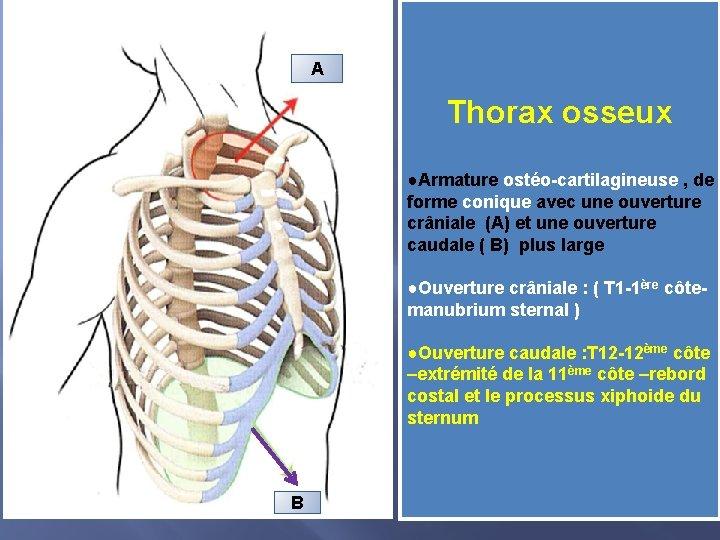 A Thorax osseux ●Armature ostéo-cartilagineuse , de forme conique avec une ouverture crâniale (A)