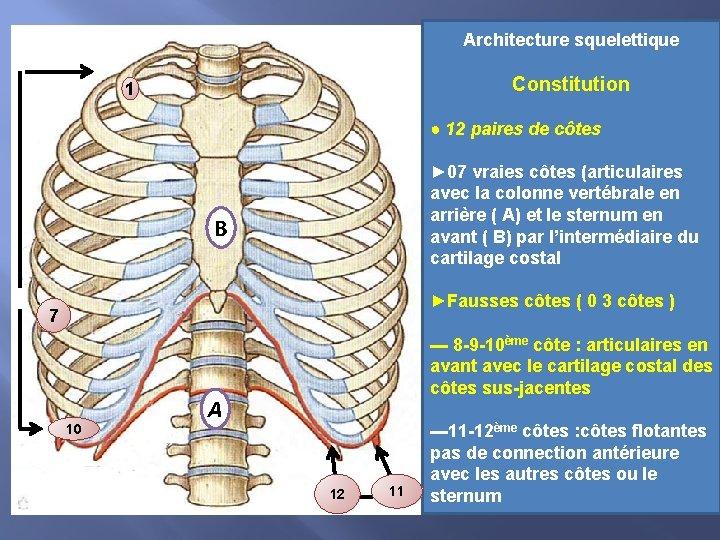Architecture squelettique Constitution 1 ● 12 paires de côtes ► 07 vraies côtes (articulaires