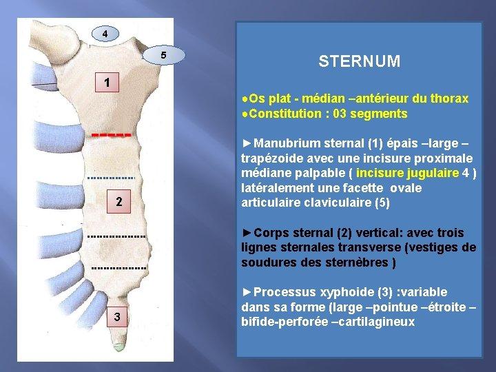 4 5 STERNUM 1 ●Os plat - médian –antérieur du thorax ●Constitution : 03