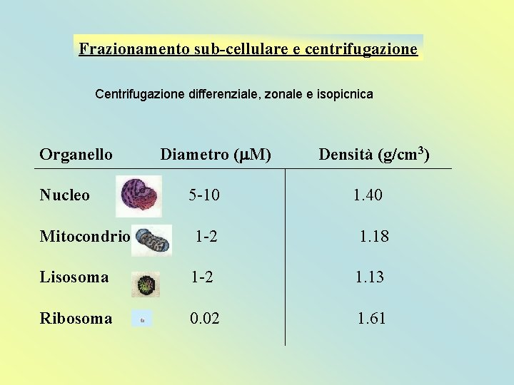 Frazionamento sub-cellulare e centrifugazione Centrifugazione differenziale, zonale e isopicnica Organello Nucleo Diametro (m. M)