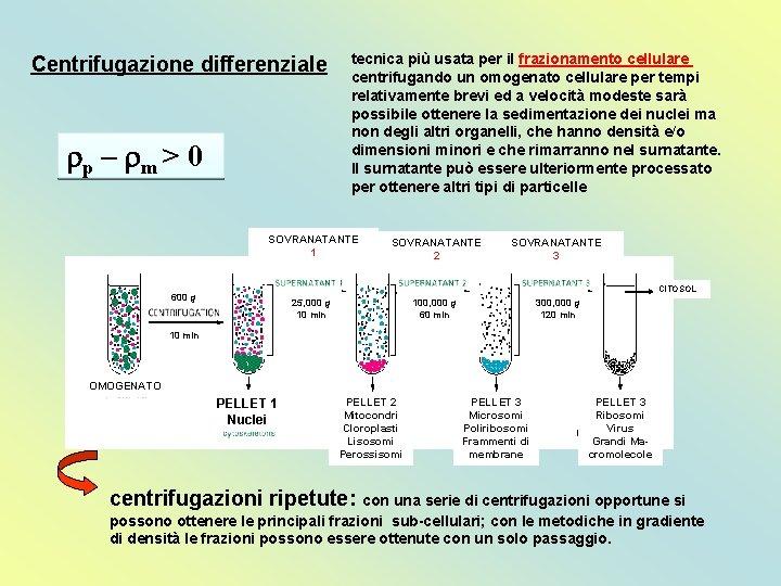 Centrifugazione differenziale rp – rm > 0 tecnica più usata per il frazionamento cellulare