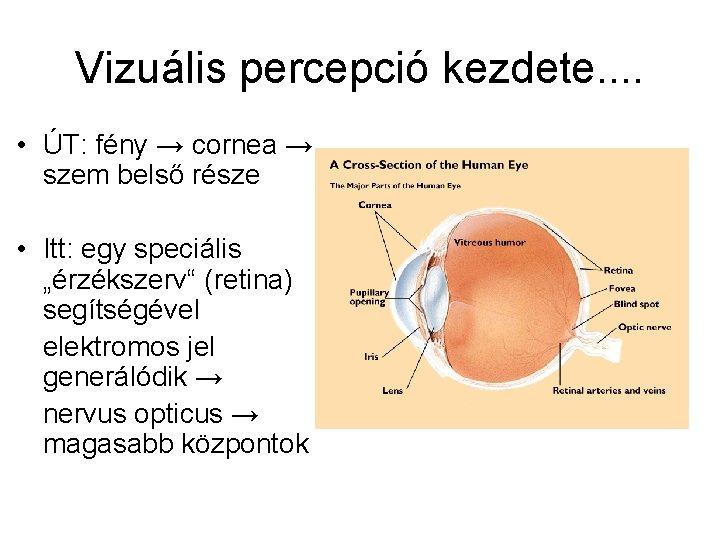 a retina szenzoros része)