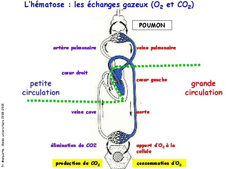 L'hématose : les échanges gazeux (O 2 et CO 2) POUMON artère pulmonaire veine