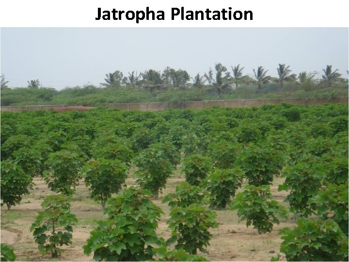 Jatropha Plantation B Pakistan State Oil
