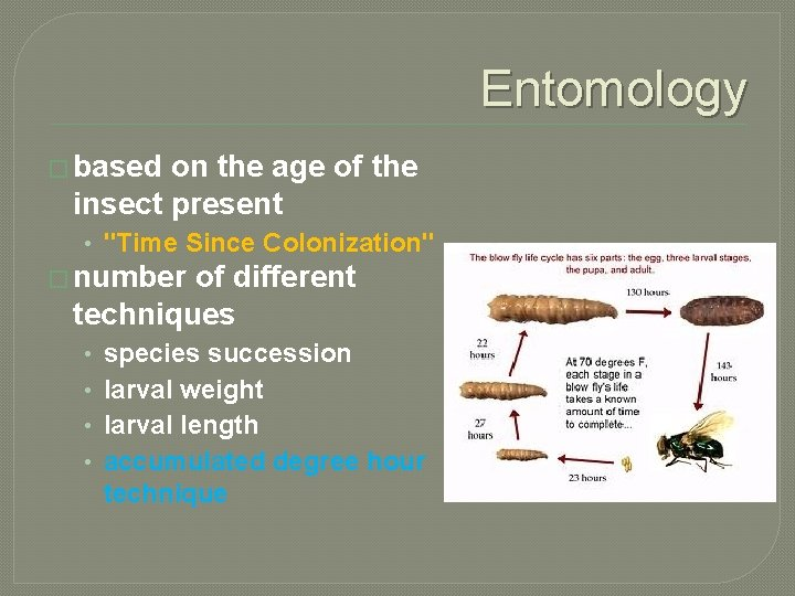 """Entomology � based on the age of the insect present • """"Time Since Colonization"""""""
