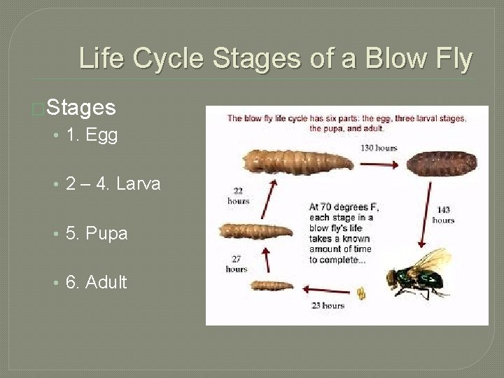 Life Cycle Stages of a Blow Fly �Stages • 1. Egg • 2 –